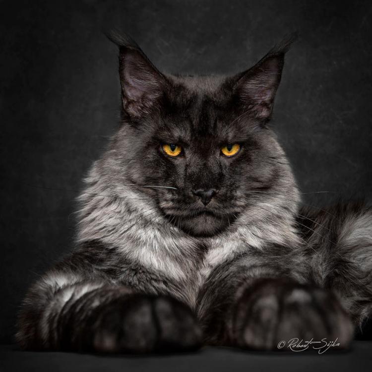maine-coon-cat-photography-robert-sijka-65-57ad8f2e15bd3__880.jpg